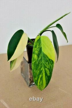 VARIEGATED PHILODENDRON'HORNE ROYAL QUEEN' VARIEGATA Very RARE